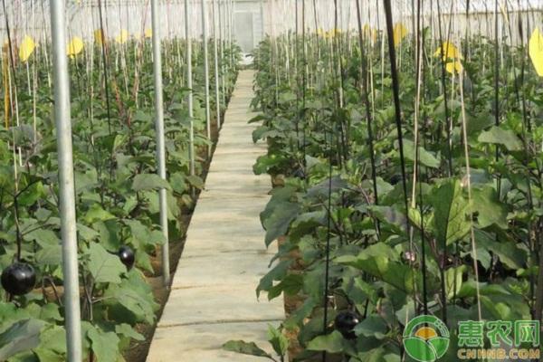 露地茄子夏季灌溉技巧及注意事项