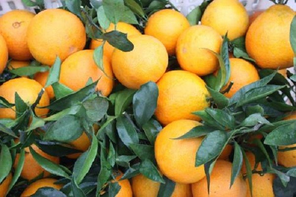 柑桔的保果补钙方案,学到就是赚到!