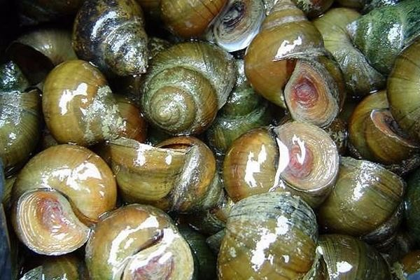 淡水螺都有哪些常见品种?价格如何?淡水螺品种介绍