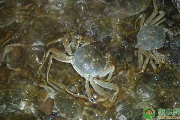 2019河蟹价格多少钱一斤?河蟹的营养价值及功效