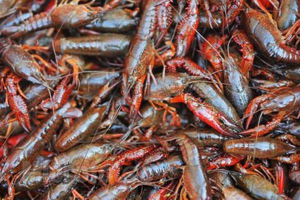 2019小龙虾最新批发价格多少钱一斤?小龙虾的做法和清洗方法