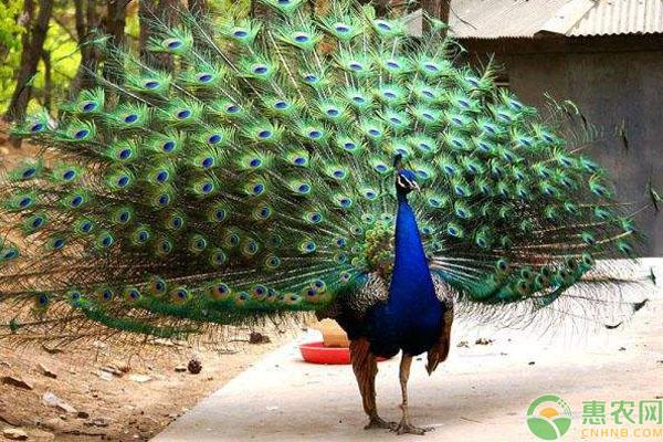 孔雀养殖致富经