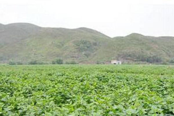 沙窝镇看准颠茄草种植产业,进行全面发展,现全村脱贫!