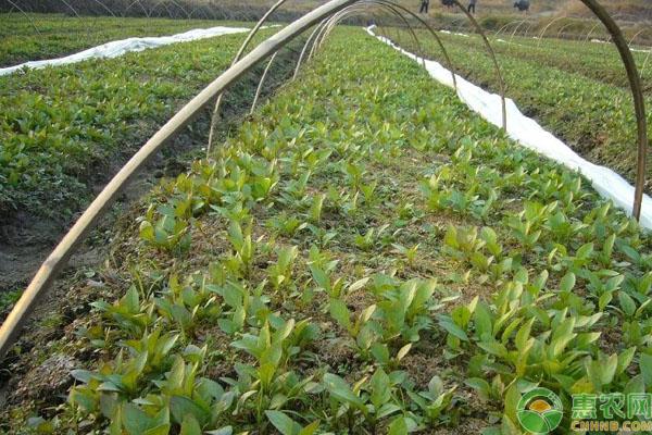 颠茄草种植
