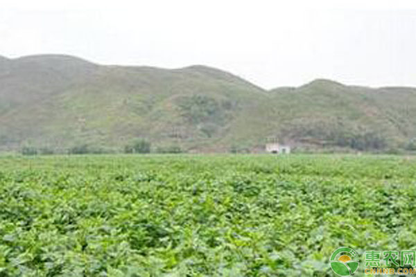 颠茄草致富产业