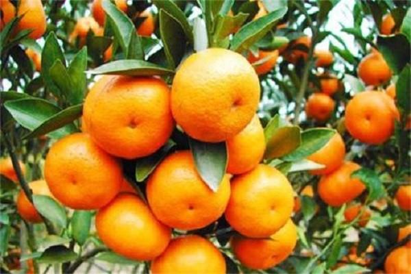 柑橘的品种介绍,它们各有哪些特点和优势?