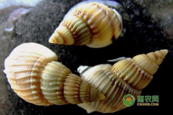 2019年海螺最新价格多少钱一斤?海螺的营养价值有哪些?