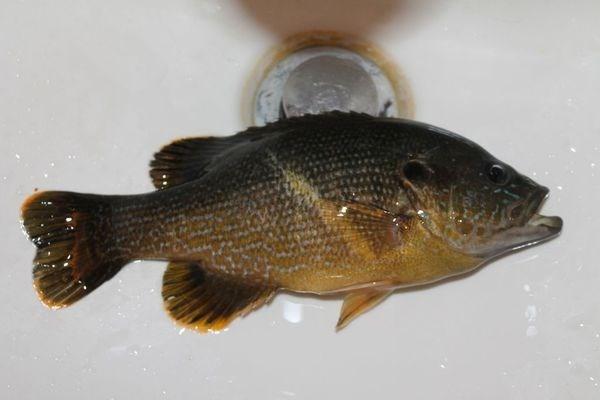 如今太阳鱼的价格怎样?太阳鱼有哪些功效?它有毒吗?