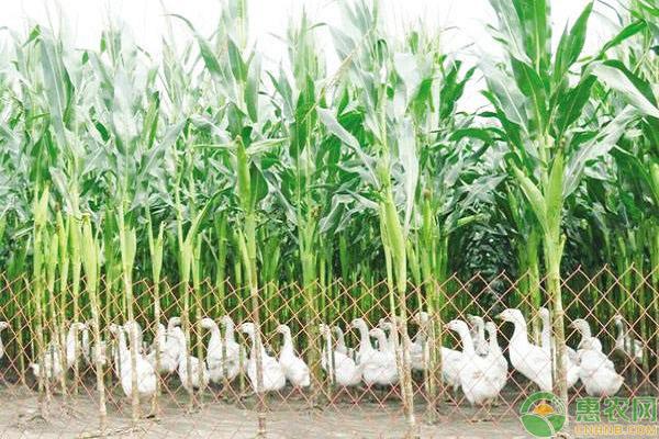 地沟草的防治手艺