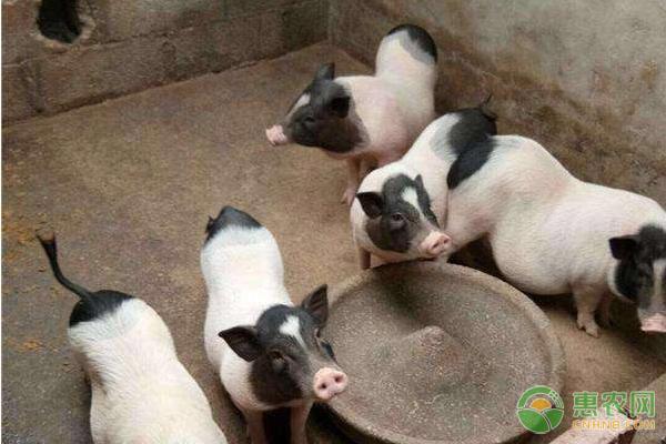 养猪应该喂养什么饲料?这三种饲料可以选择!