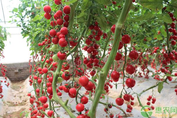 年夜棚樱桃番茄