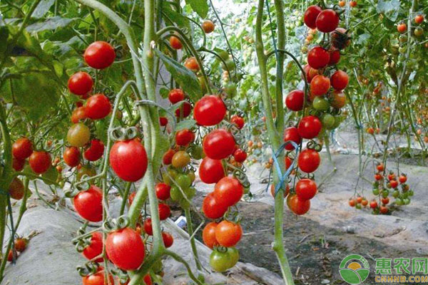 年夜棚樱桃番茄整枝落蔓