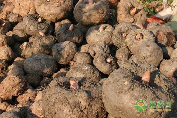 魔芋出土之后如何进行施肥?怎么预防病虫害呢?