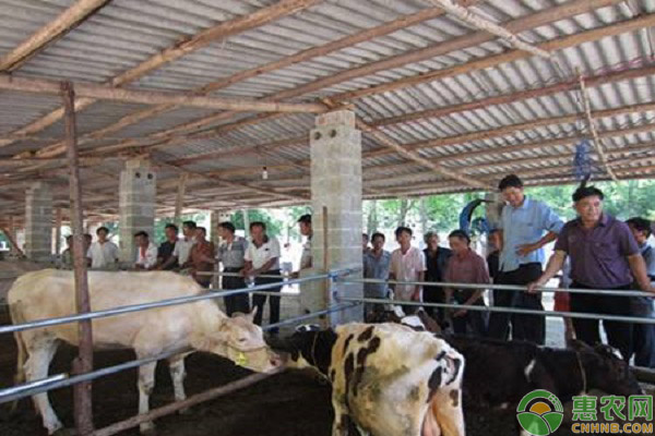 肉牛养殖致富