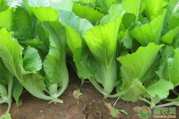 大芥菜的高产种植技巧介绍