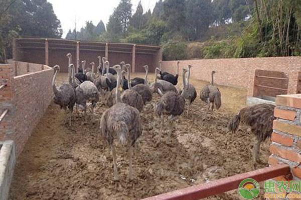 人工养殖鸵鸟前景