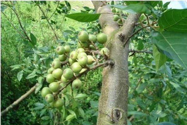 岳普湖县:发展特色种植,精准定位无花果为脱贫致富主导产业