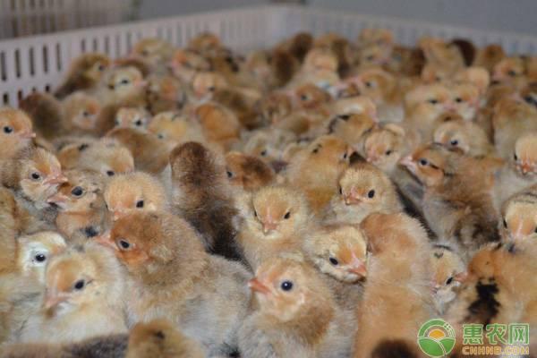 2019鸡苗批发价多少钱一只?鸡苗开食的最佳时间