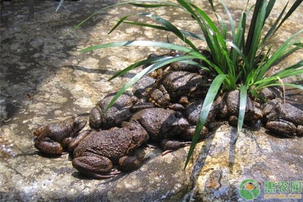 石蛙的市场价值怎样?2019年养殖石蛙的效益好吗?