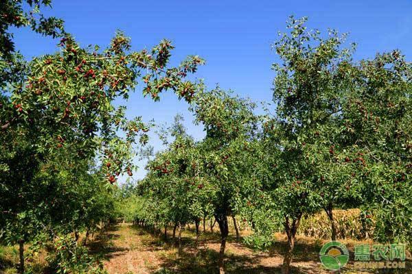 枣树进行嫁接是什么目的?可以嫁接什么树?