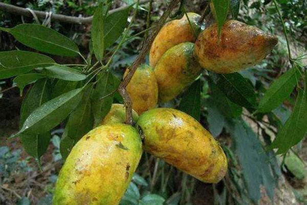 以前不起眼的野果,现农民进行人工种植,亩收益达6万!