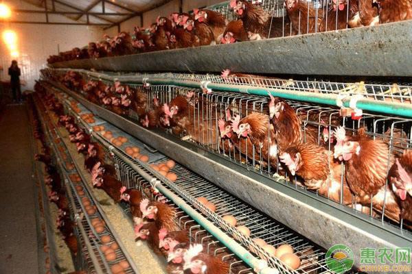 蛋鸡传染性喉气管炎疾病