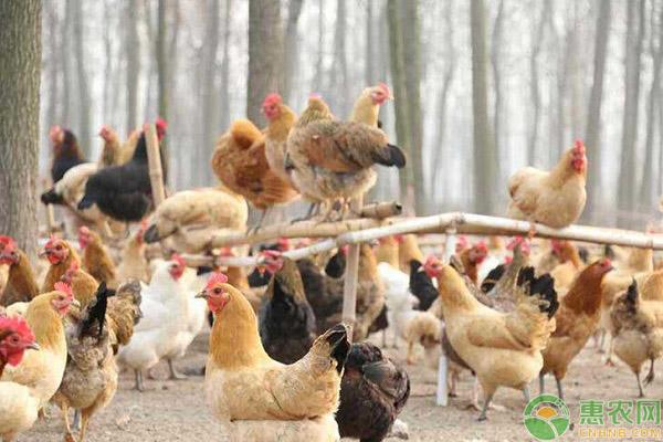 蛋鸡传染性喉气管炎的预防和治疗