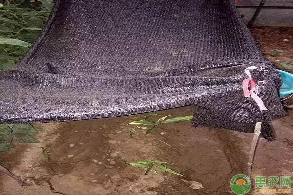 生姜遮阴的作用