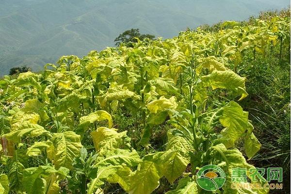 农村有前景的种植项目有哪些?这四种特色种植值得考虑!