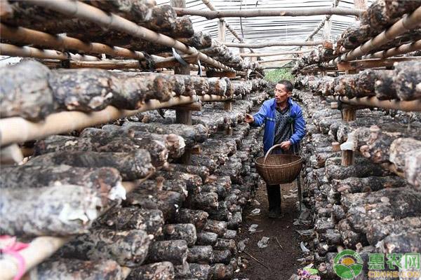 香菇产业种植