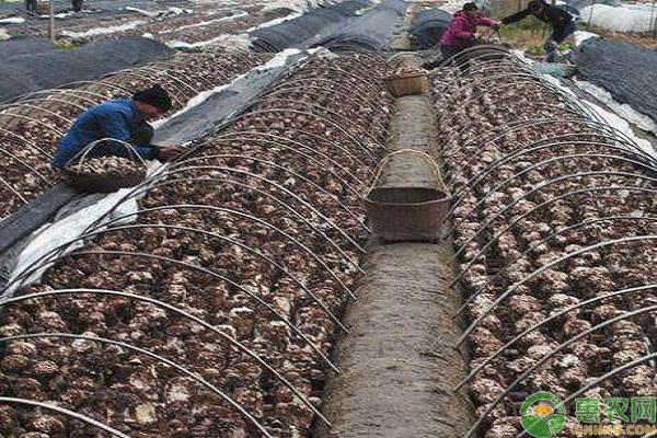 香菇创业致富