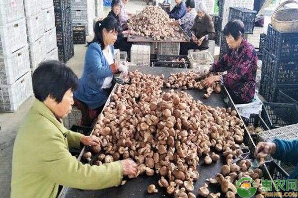 香菇经营模式发展