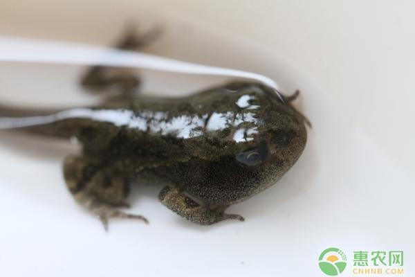 今日蝌蚪价格多少钱一斤?饲养蝌蚪有什么原则?如何提高成活率?