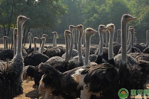 现在鸵鸟苗价格要多少钱一只?养殖鸵鸟有什么优势?能赚到多少钱?