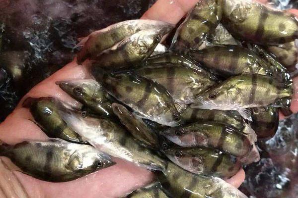 现在鱼苗批发价多少钱一尾?优质鱼苗的挑选方法