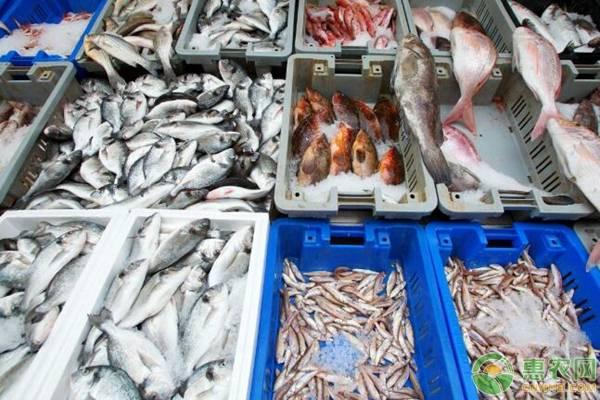 野生石斑鱼价格