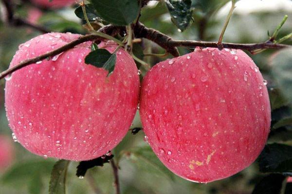 苹果套袋耗费大量人力财力,中国会实现无袋苹果生产吗?