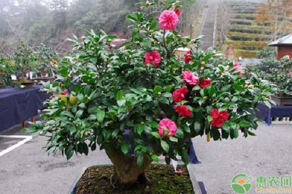 山茶花养殖