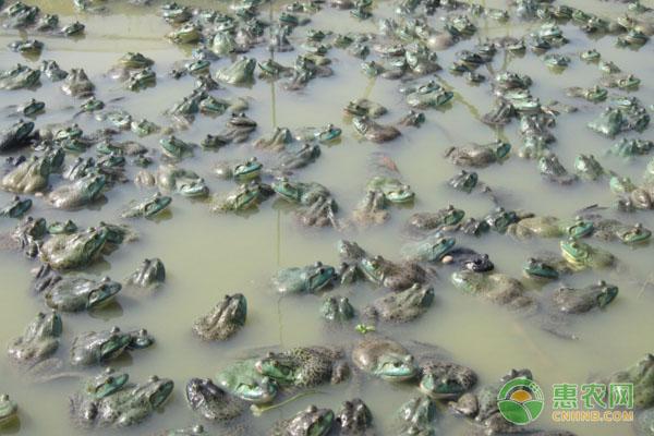 蛙苗的养殖管理