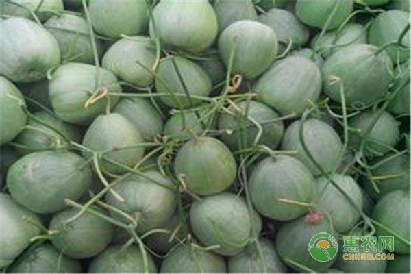 打算七月种植香瓜的朋友,这六大要点需牢记!