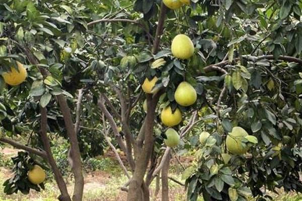 柚子树苗多少钱一棵?柚子树苗什么品种好?