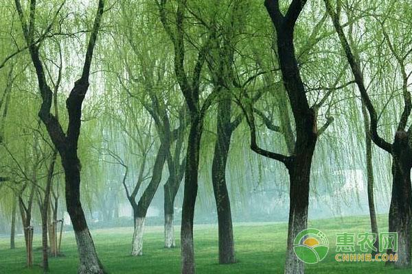 柳树价格贵吗?多少钱一棵?柳树的用途有哪些?