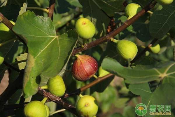 无花果的高产种植技术及管理要点