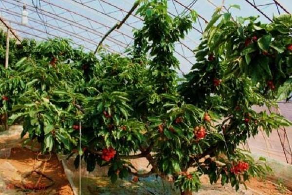 棚室樱桃采收后的包装和采果撤膜后管理要点