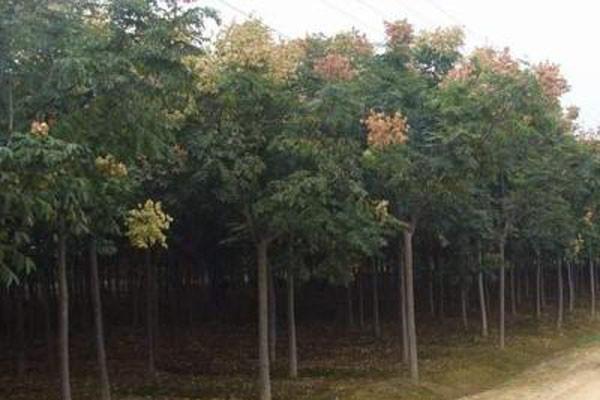 栾树批发价多少钱一棵?栾树种植时间及种植密度