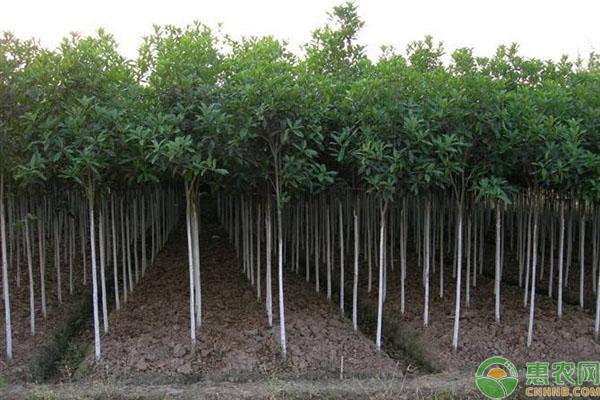 栾树种植时间
