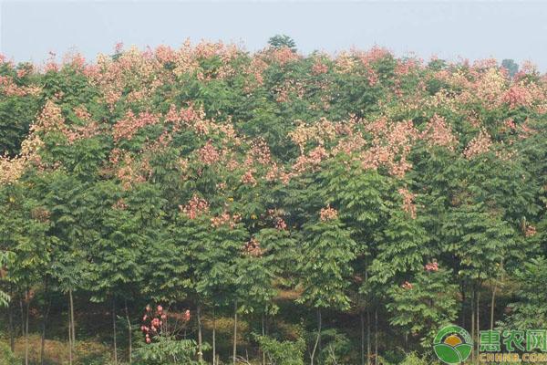 栾树种植密度