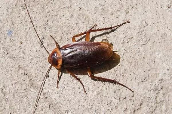 """蟑螂为什么被叫做""""打不死的小强""""?其价值作用体现在哪?蟑螂的人工饲养技术介绍"""
