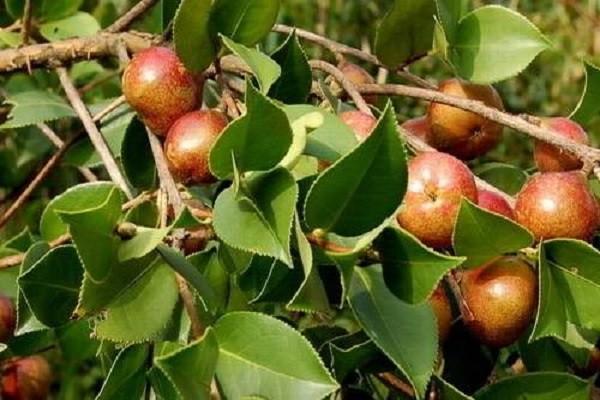 油茶树的价格怎样?种植前景如何?油茶树种植成本和亩产效益分析