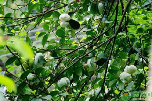 油茶树的种植前景